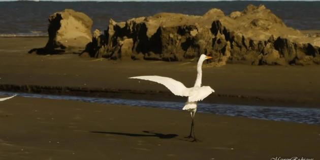 garça desfilando na praia do cassino