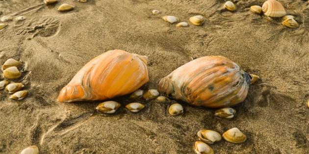 Milhares de Conchas na Praia do Cassino