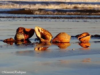 Conchas na Praia do Cassino