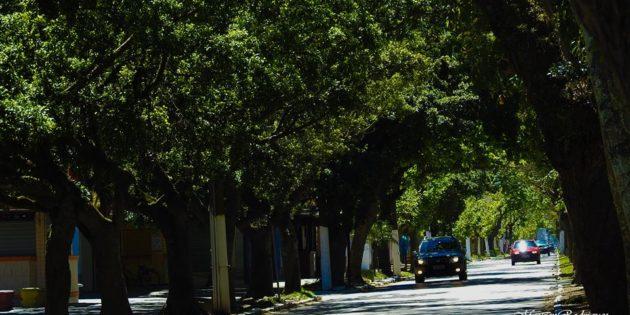 Arvores da Avenida em Praia do Cassino