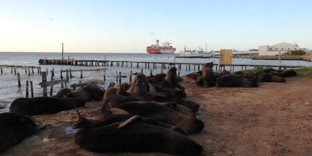 Lobos marinho na Barra Praia do Cassino