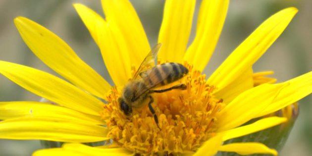 Abelhas na Margarida Praia do Cassino